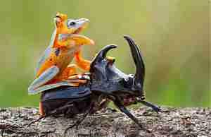Лягушка оседлала рогатого жука