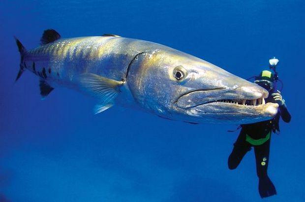 Барракуда (Barracuda) – хищная рыба семейства Sphyraenidae