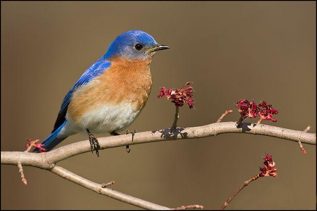 Птичка Bluebird