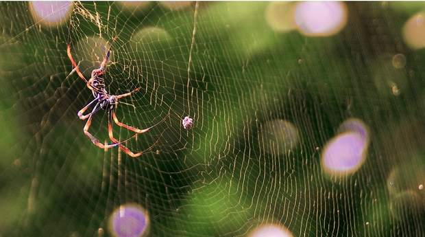 Сети пауков-шелкопрядов Nephila