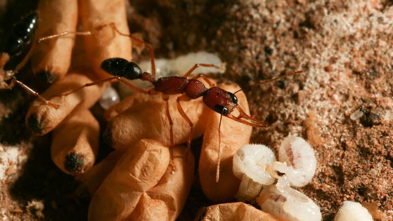 Несвоевременный сигнал королевы может ее разжаловать до рабочего муравья