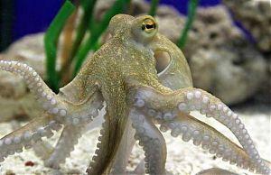 Гипнотизирующий взгляд осьминога